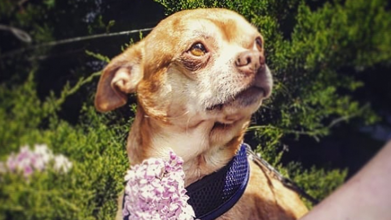 lesbiana adopta chihuahua enojón y misándrico